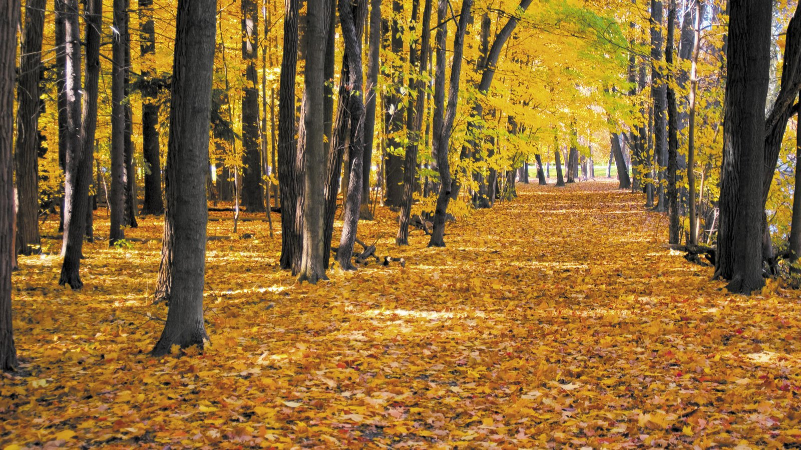 Fall leaves covered path with maple trees.
